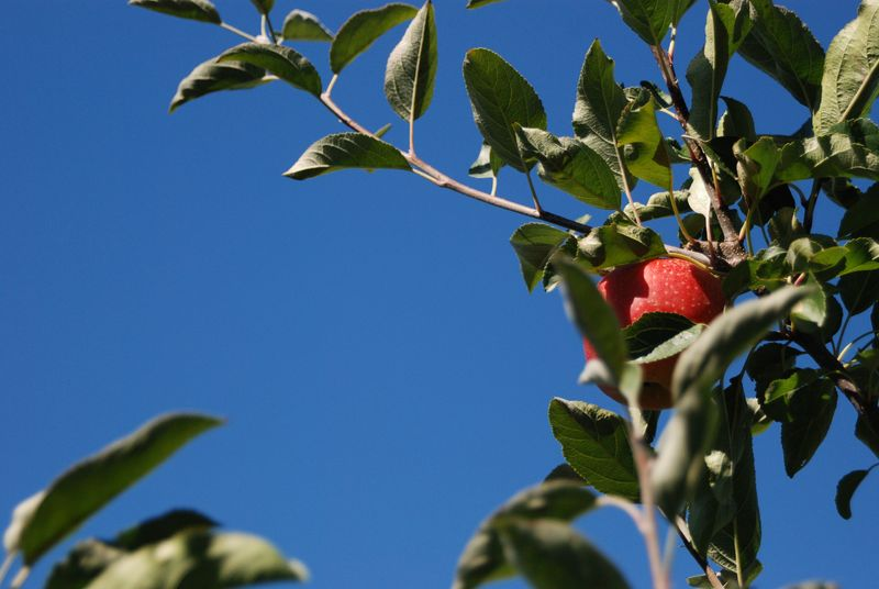 Red Applejpg