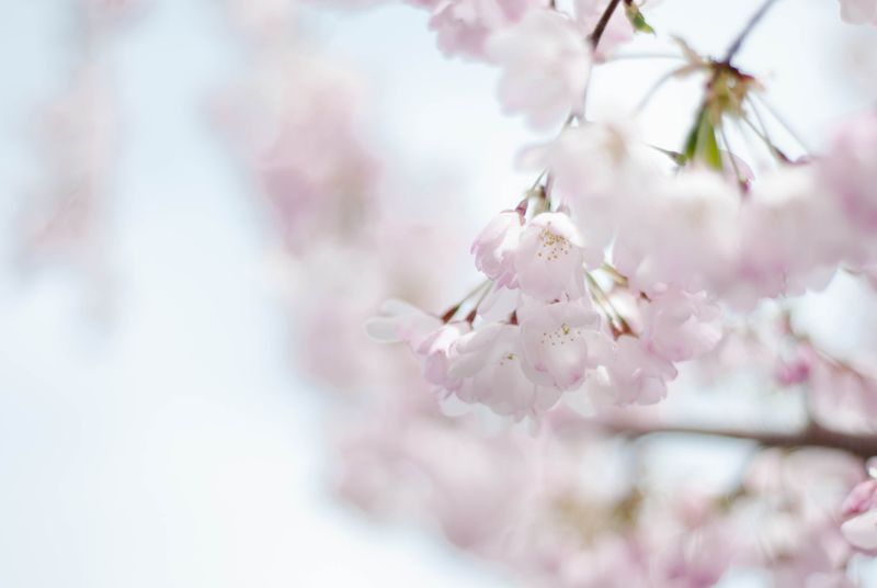 Blossoms-0410
